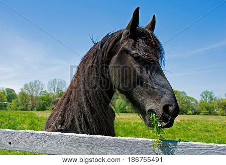 black Friesian horse feeding on grass by wooden fence
