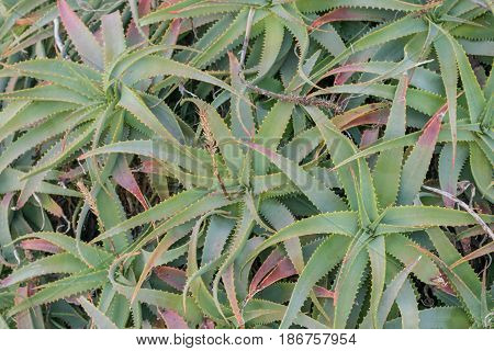 Bunch of Wild Aloe-close-up, isolated shot of many small Aloe plants, bunched together