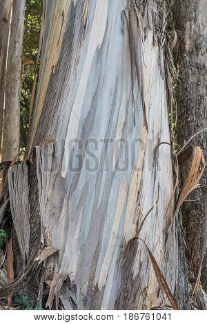 Colorful Eucalyptus Trunk-close-up, isolated shot of a Eucalyptus tree trunk, with colorful, pealing bark