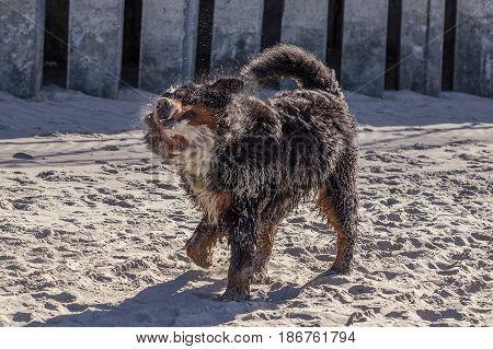 bernese mountain dog playing at sunny sea beach sand