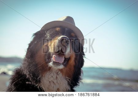 bernese mountain dog at sunny sea beach
