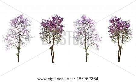 purple tree (Lagerstroemia) isolated on white background
