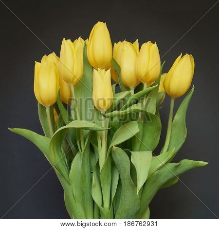 A dozen beautiful yellow tulips purchased from the florist are ready to be given and received with joy.
