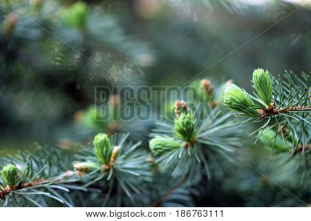 Colorado blue spruce branch close up with spring growth and catkins frame open copy space forest background