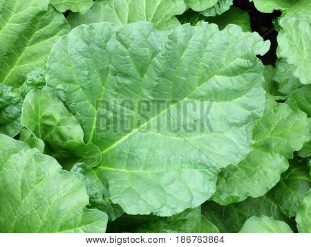A close up of Rhubarb leaf from early spring growth.