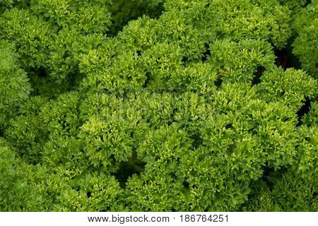 Tight Green Leaves in Spring Horizontal background image