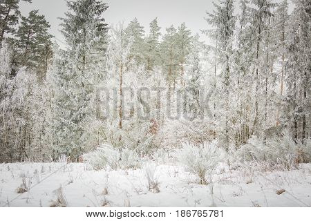 Winter Trees With White Rime