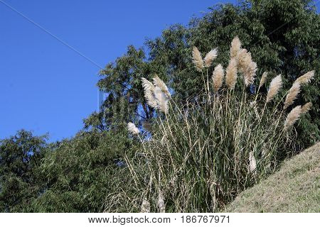 Feathery Toetoe, New Zealand's largest native grass.