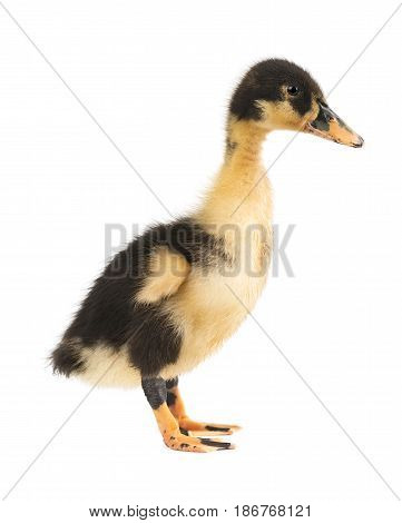 Cute little duckling isolated on white background