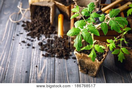 Seedlings tomato in pot with garden tools ground spade and rake on old wooden board. Copyspace