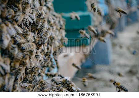 Beehive and bees outdoor, honey farm