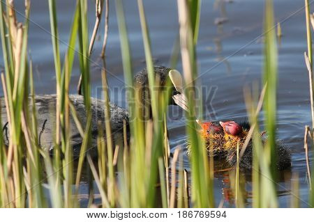 Adult Eurasian coot (Fulica atra) with two chicks