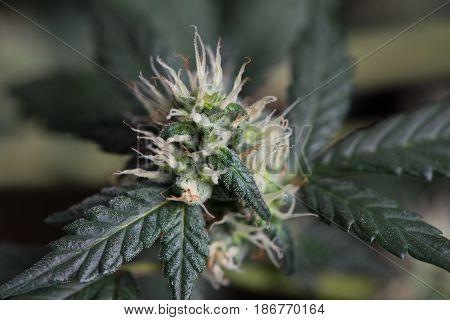Close up macro of young female cannabis marijuana flower.