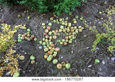 Fallen apples under an apple tree (Malus pumila) in Harbor Springs, Michigan during August.