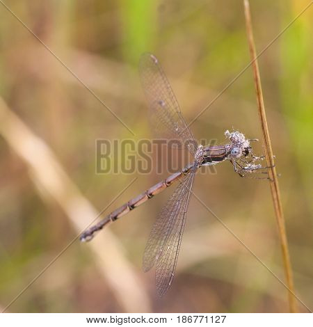 Macro of a damselfly eating a moth. Damselfly is covered in the scales of the moth's wings.