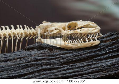 Close up bone of a snake on woodden