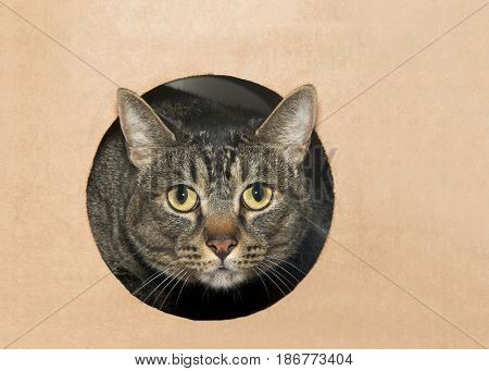 Black and gray tabby cat peaking out of a hole in a cardboard box looking directly at viewer.