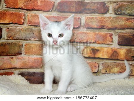 One small fluffy white kitten sitting up on sheepskin looking at viewer brick wall background