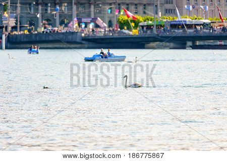 Lucerne Switzerland - April 29 2017: Swan in the Lake Lucerne with pedal boats in the background at Lucerne Switzerland.