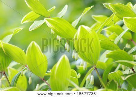 Close up shot of lush green Leucojum  plant