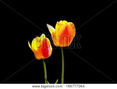 Two yellow Tulip flowers against black background