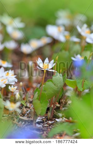 Close up shot of Blood root flowers