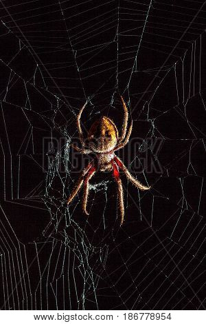 Scary Golden Orb-Weaver spider in the middle of spider web on black background