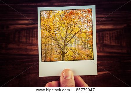Hand Holding Polaroid Instant Photograph Of Beautiful Tree With Yello Foliage In Autumn. Fall In Aus