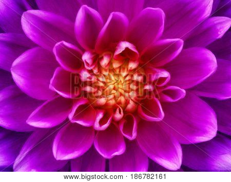 Dahlia flower closeup. Macro. Nature background.