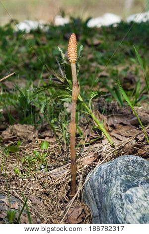 Field or common horsetail Equisetum arvense young shoots macro with bokeh background selective focus shallow DOF.