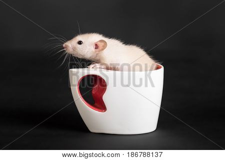 small domestic rat in a white cup