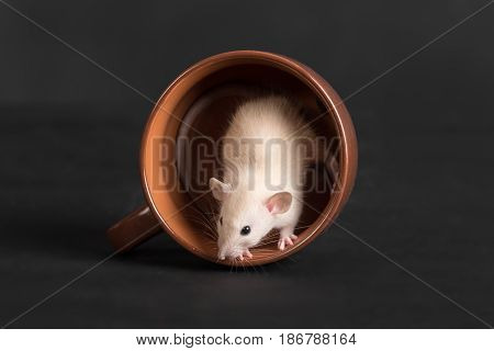small domestic rat in a large cup