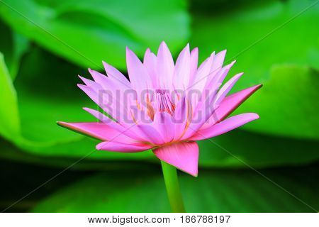 lotus flower or water lilly pink beautiful in nature