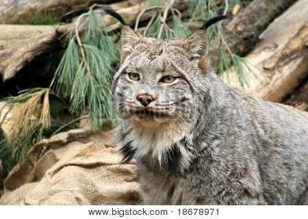 A Close up Photo of a Lynx in the wild