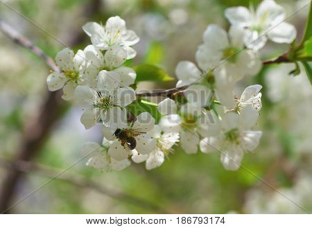 Honey Bee Harvesting Pollen From Cherry Blossom,bee Collecting Nectar From White Cherry Flower