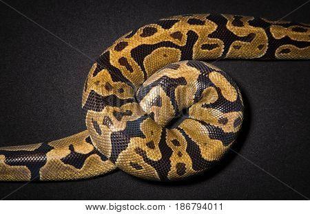 Photo of royal python's noose on black background