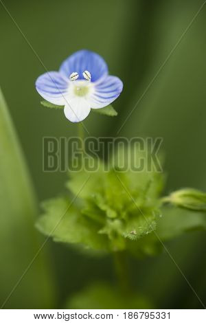 Veronica persica flower birdeye speedwell common field-speedwellPersian large field bird's-eye flowering plant in the plantain family