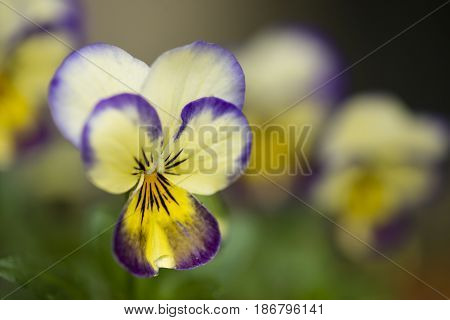 White yellow and purple Pansy flowers close up