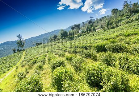 Temi tea garden of Ravangla Sikkim beautiful vast tea planatation on greadully sloping field with mountains and blue sky in the background. It is only tea garden in sikkim one of the world's best.