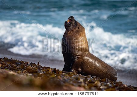 Roar Of Sea Lion Seal