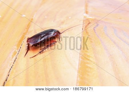 cockroaches dying close-up on wooden table in kitchen