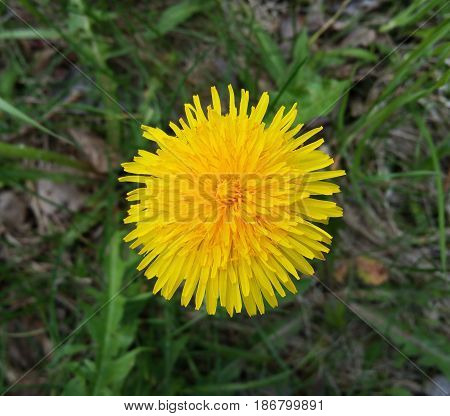 Dandelion. Yellow dandelion against green grass. Close up. Selective focus. View from above. Dandelion flower.