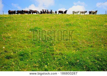 Herd of cows on a farmland in East Devon