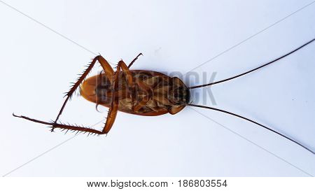 cockroach bug isolated on white outdoor and background .