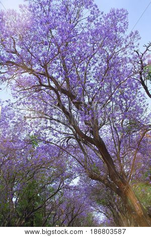 blooming jacaranda is very beautiful in spring Park