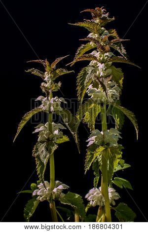 White dead-nettle flowers on a black background