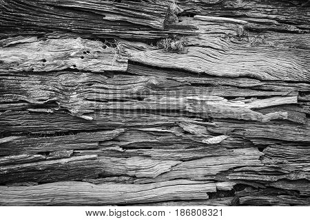Wood texture, wood background for design. Wood motifs that occurs natural. Black and white.