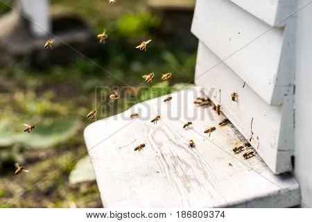 Close up of bees flying in and Out of their hives. Some of the bees carry golden pollen lumps on their legs
