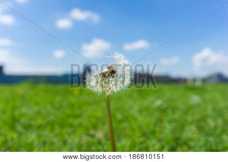 Close-up of a little Blowball / Dandelion on a green Meadow. View on a Blowball in Morning. A Dandelion in front of a blue sky with white clouds