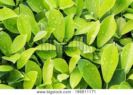 Leaf texture, Leaf background with water drop for design. Leaf motifs that occurs natural.